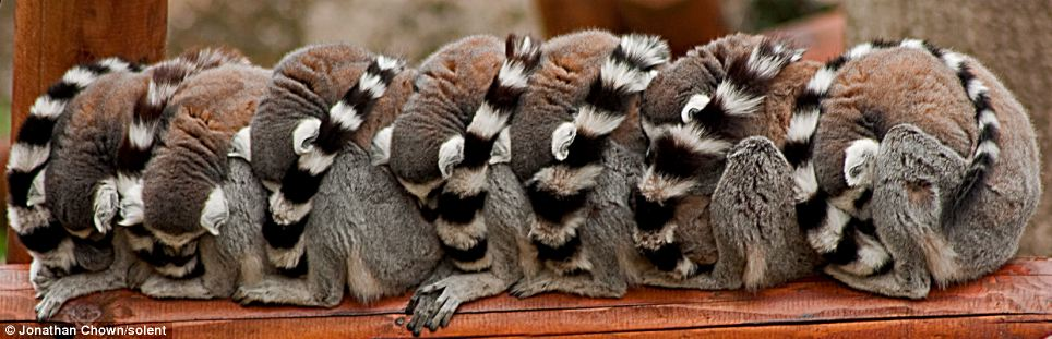 7 ekor Lemur tidur beratur