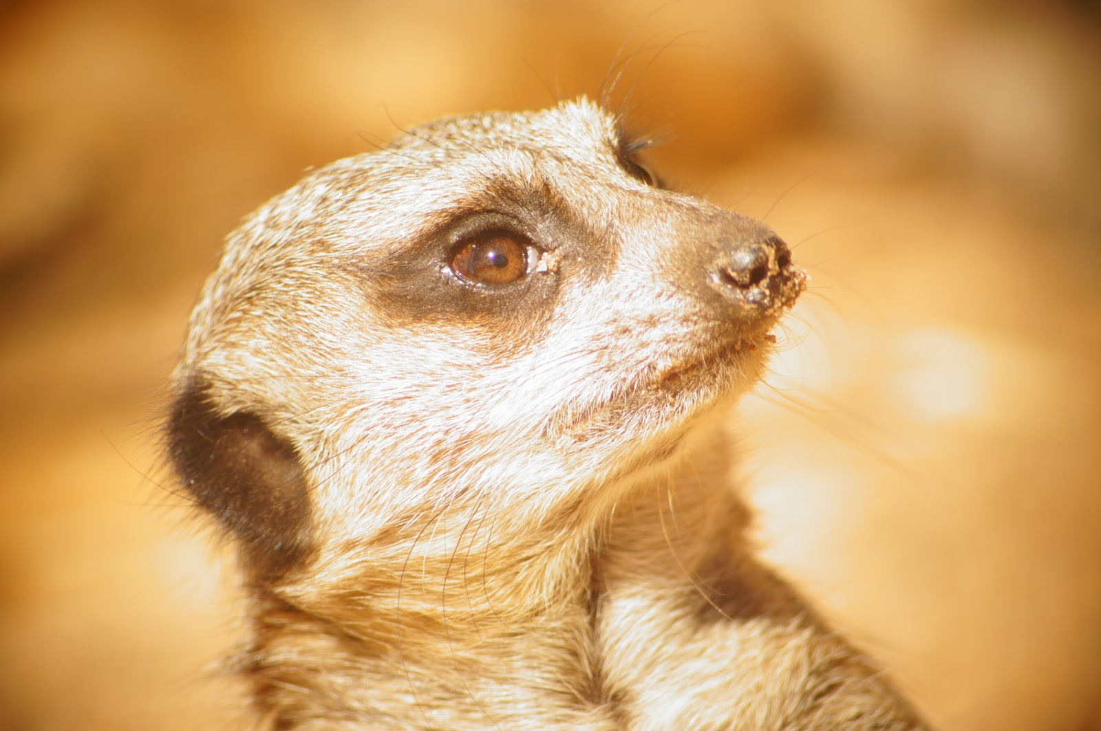 meerkat free pictures for blogs