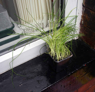Shop bought Chive plant still in it's shop container
