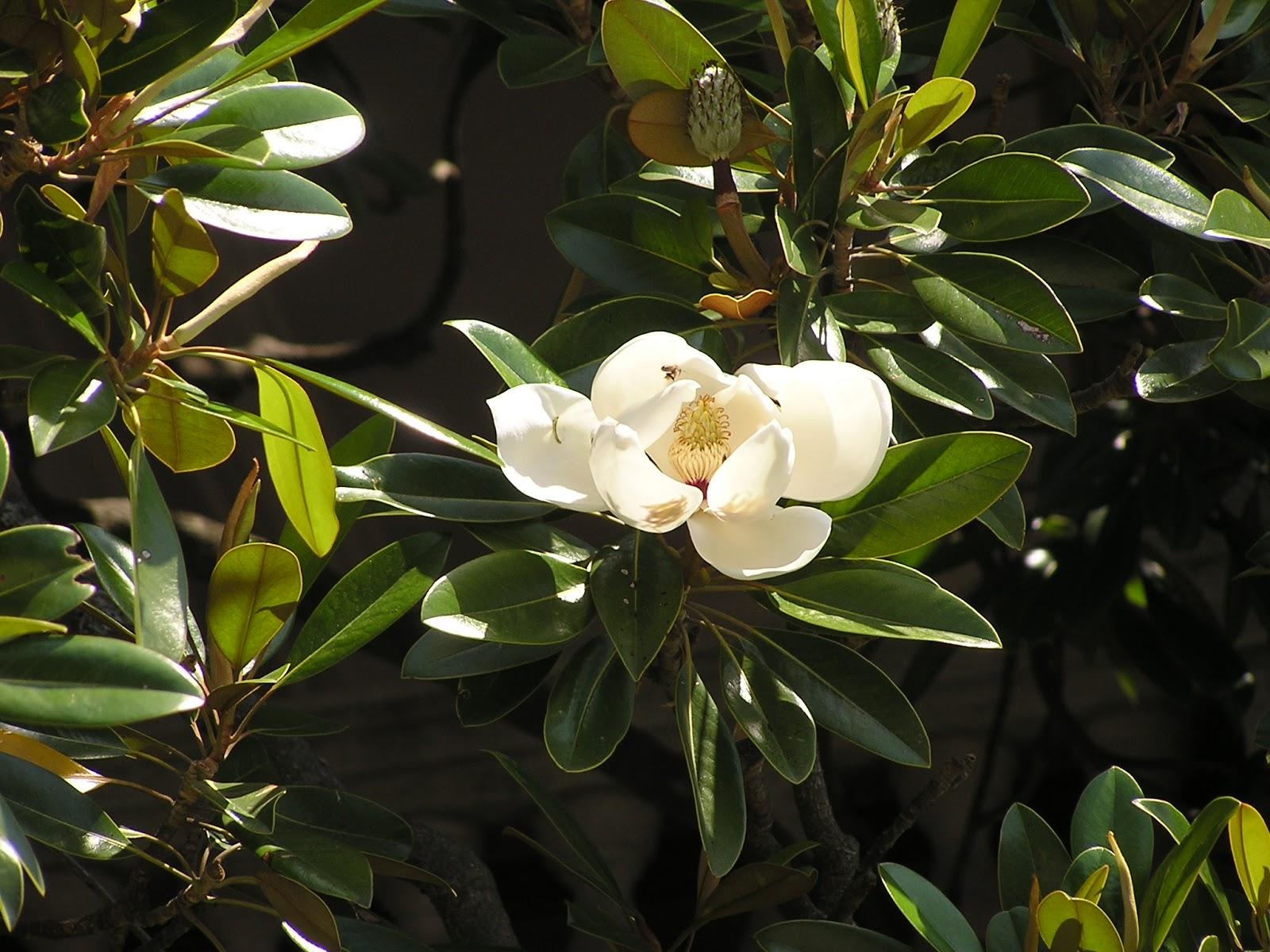 Cuidados del rbol de magnolia verano galissoni re for Arboles de hoja perenne de jardin