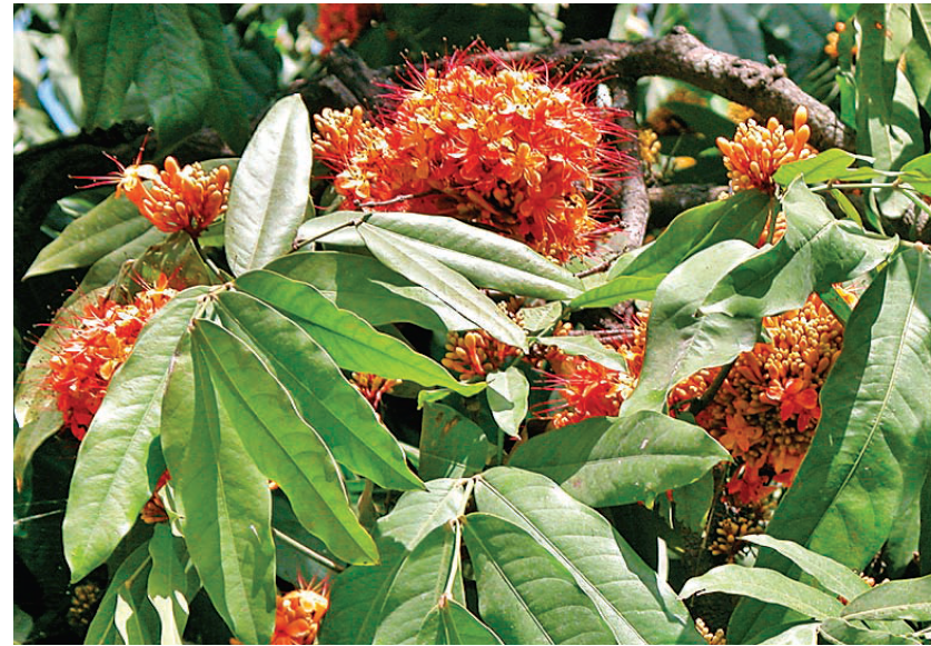 Ashok cures fever, blood related problems, leucorrhoea - Uses