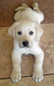 Labrador retriever golden