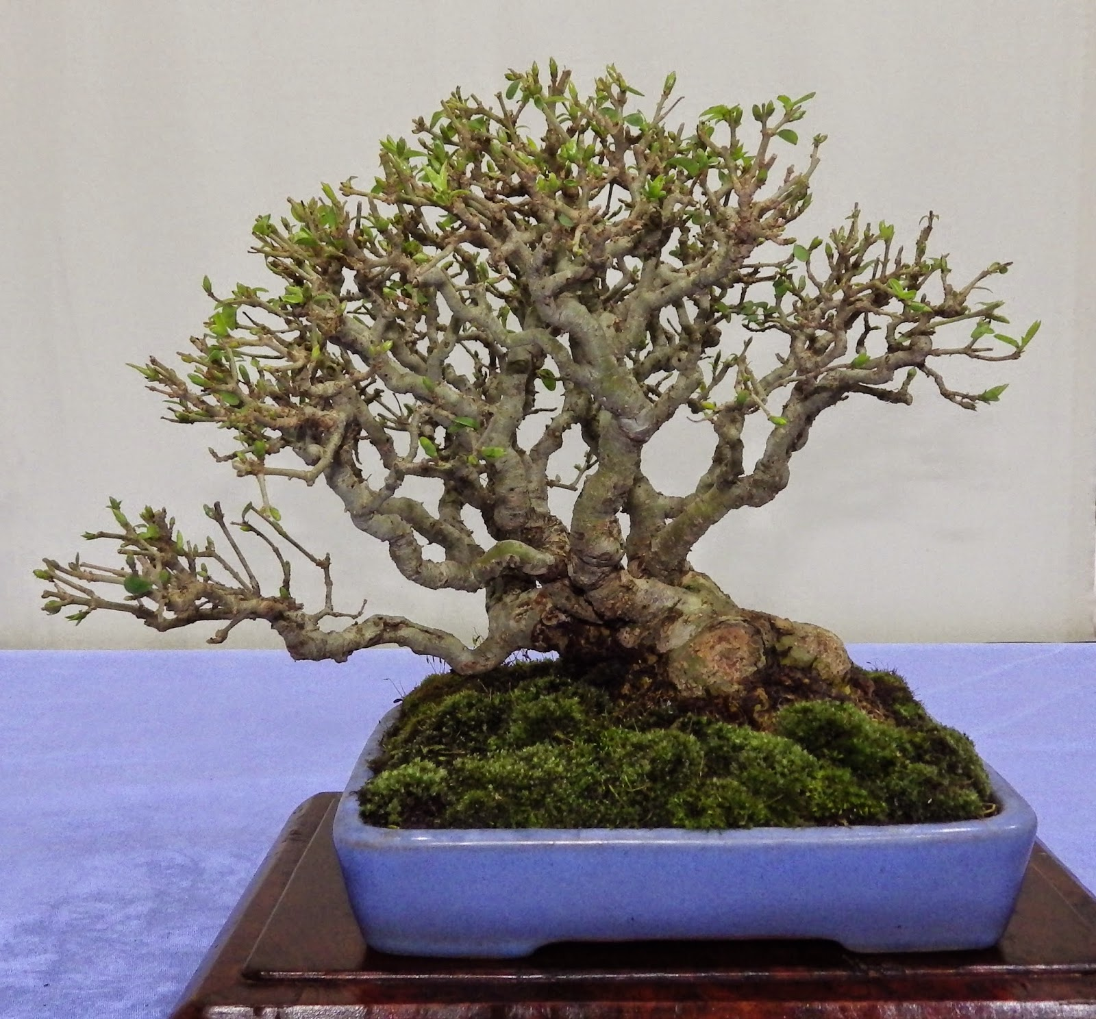 Ashfield Bonsai Club March 2015