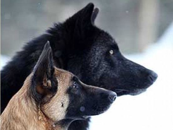 A RP for dogs and wolves.