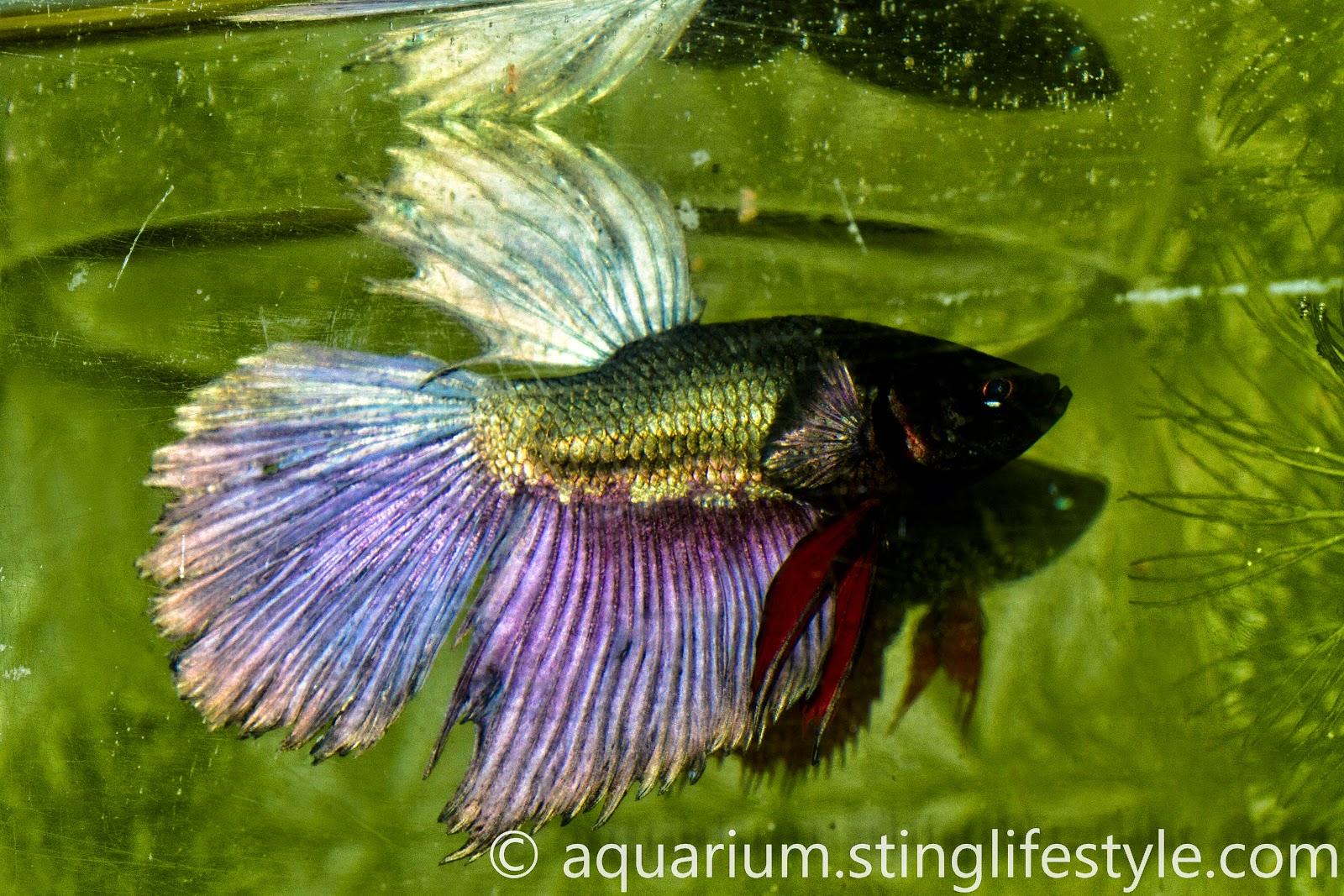 Siamese fighting fish aquarium info for Betta fish information