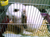 My Doe Holland Lop