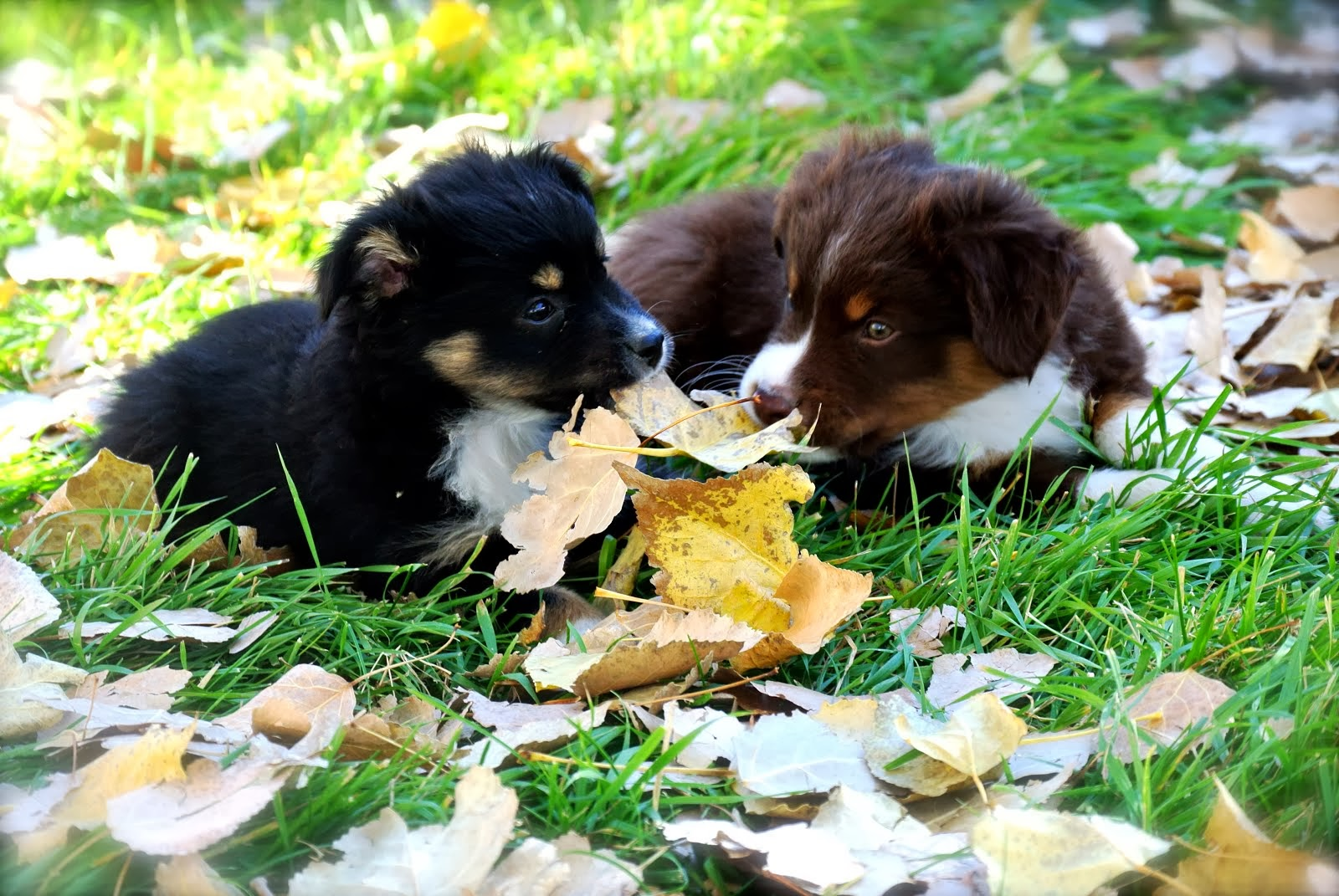 Cowdog Puppies