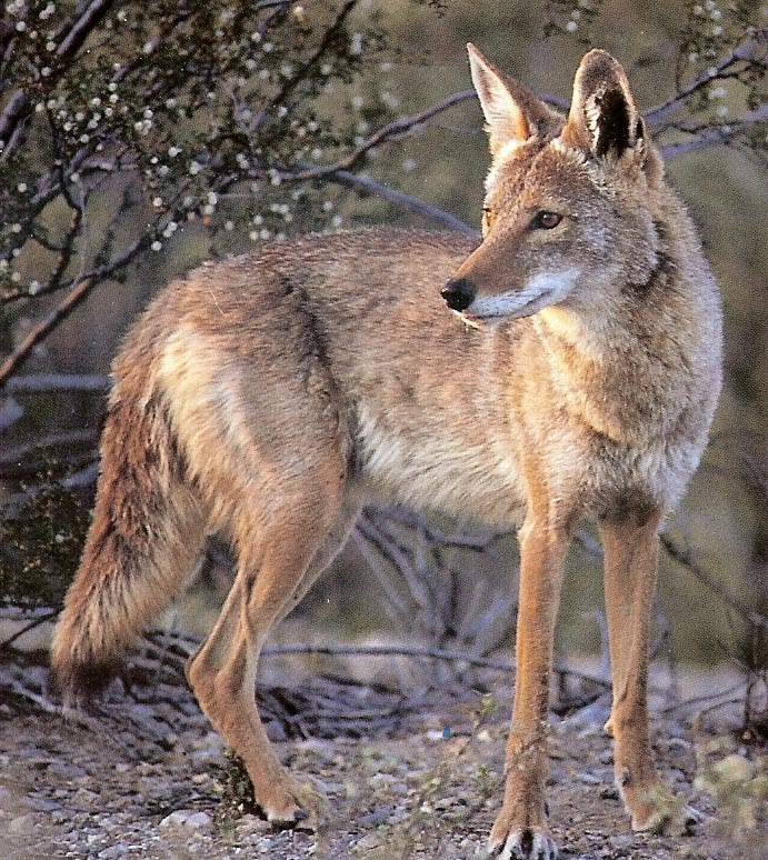 Tahoe Truckee Outdoor: Coyote pack kills dog in South Lake ...