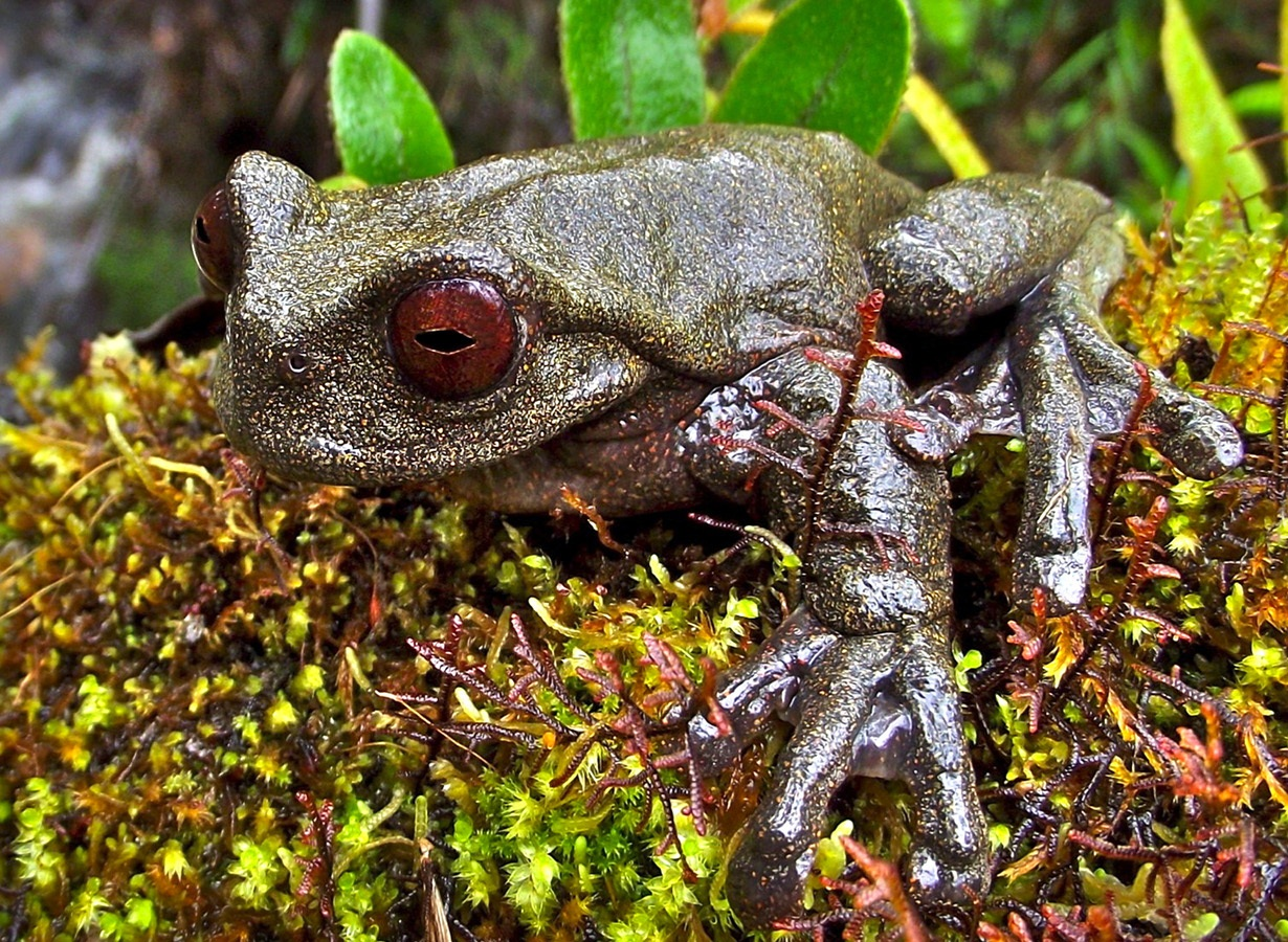 A fascinating new red-eyed stream treefrog from Peru
