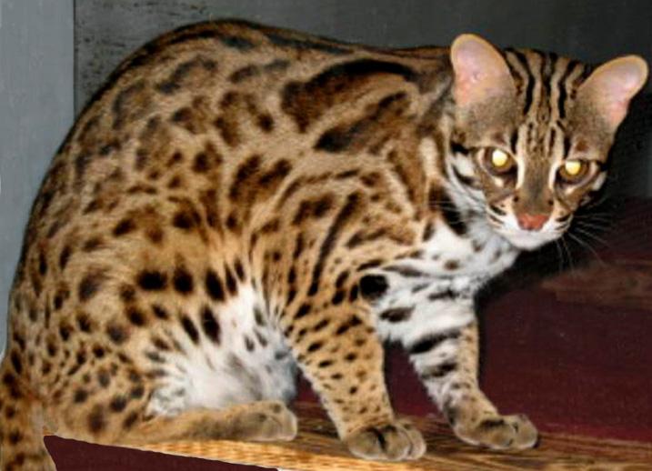 Large Leopard Like House Cat