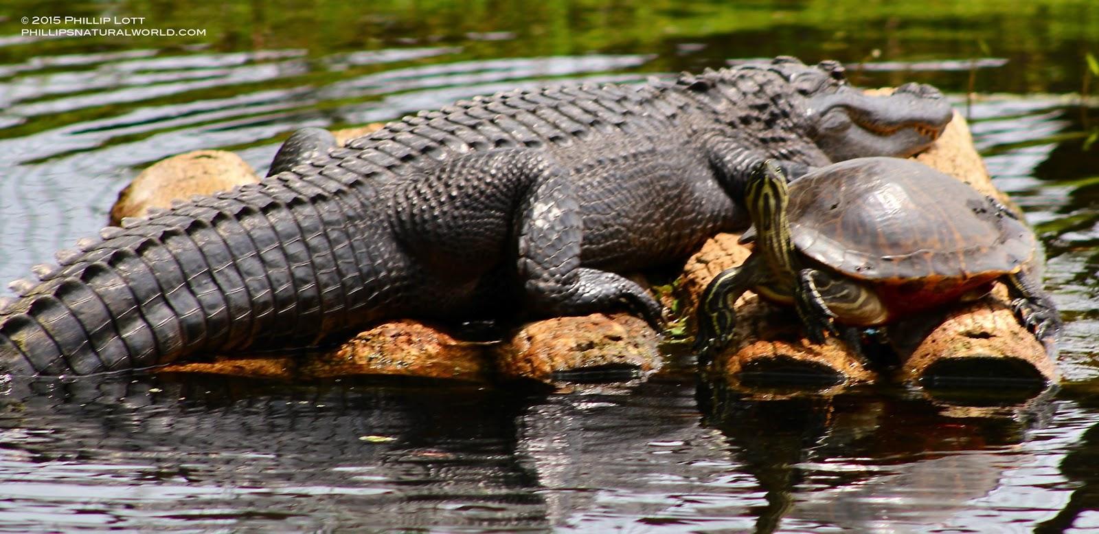 Alligator%2Band%2BYellow bellied%2BSlider%2BHomosassa%2BSprings%2BJune%2B2015%2BCopyright%2BPhillip%2BLott alligators, sunflowers, and florida heat phillip's natural world 1 0 2