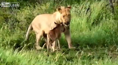 Leoa adopta antílope bébé