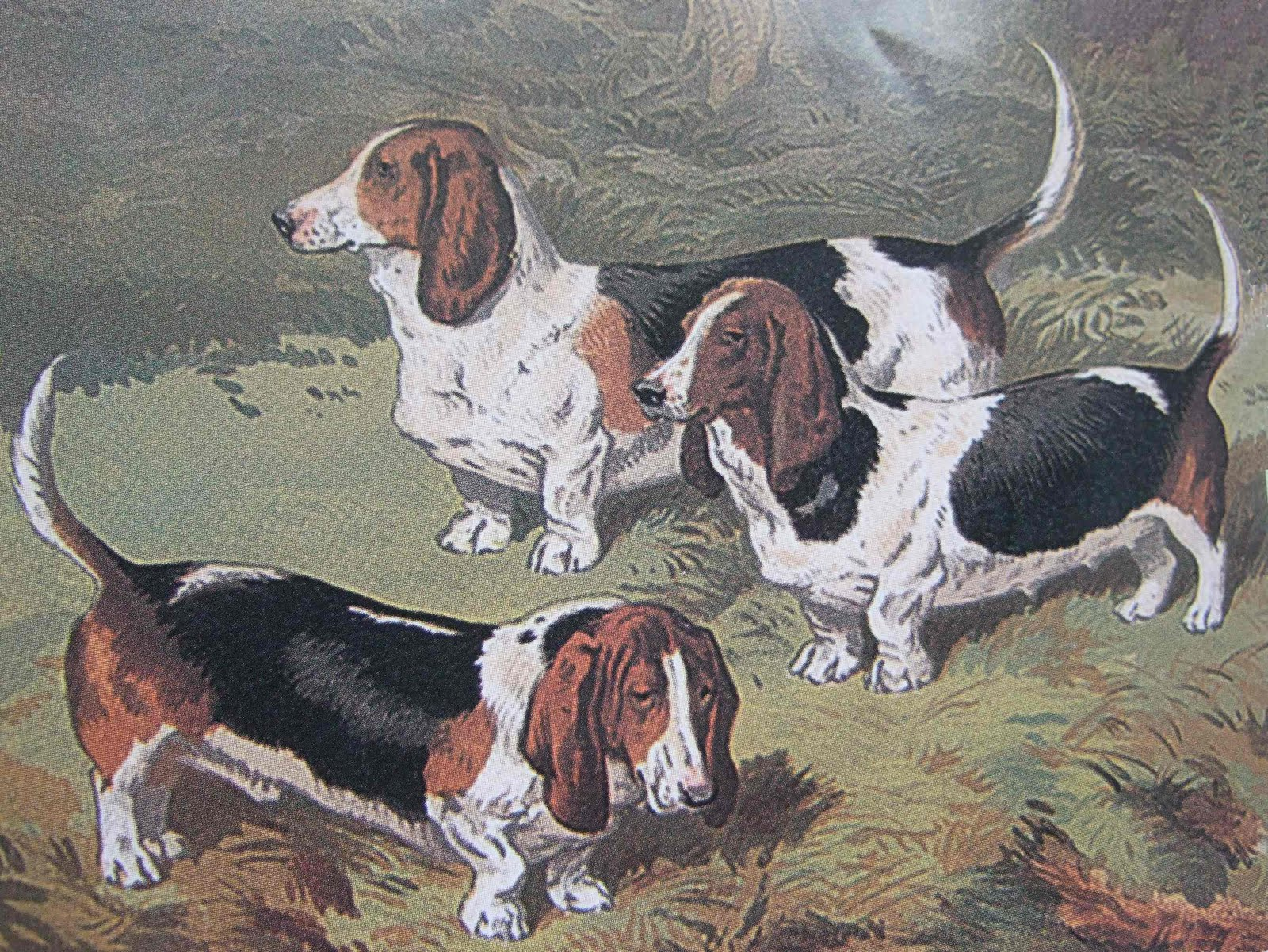 Pedigree Dogs Exposed - The Blog: Basset Hounds - a request