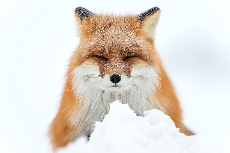 Minero Rusio pasa sus descansos tomando fotos de zorros en el Círculo Polar Ártico