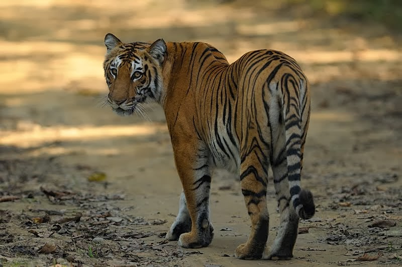 Royal Bengal Tigers