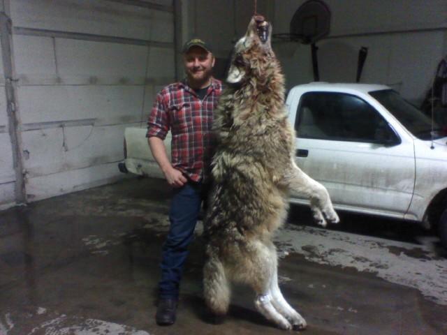 Самые большой волк в мире