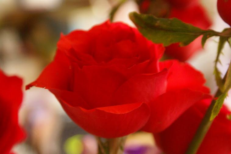 Rosa Chilena