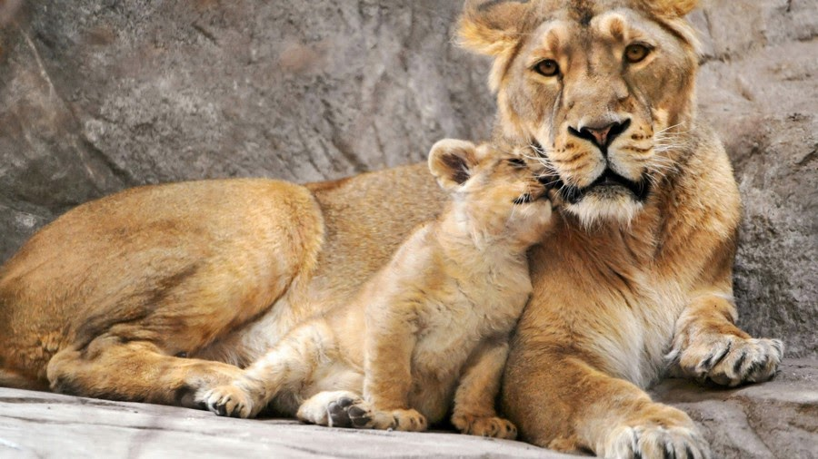 lioness with its cub animal hd wallpaper 1920x1080 30089 - اجمل صور للأسد -  Photos of the Lion