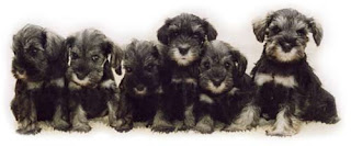 beautiful and cute Group photo of 6 Miniature Schnauzer puppies download free dog breed images and puppies images