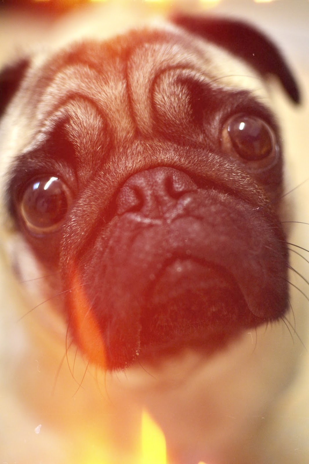 Pug, lomo, lomography, cute, dog