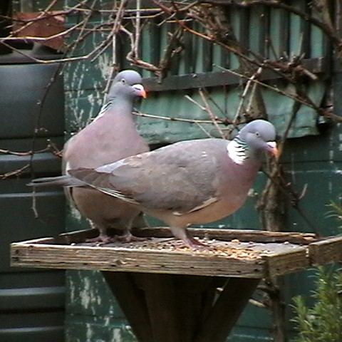 Wordless Wednesday Woodpigeons