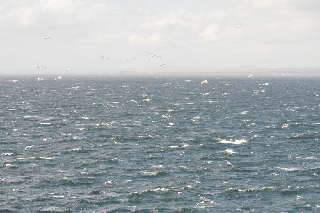 birds flying over the sea at isle of may