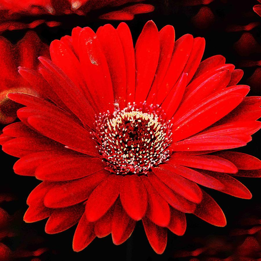 flowers for flower lovers.: Red daisy flowers desktop ...