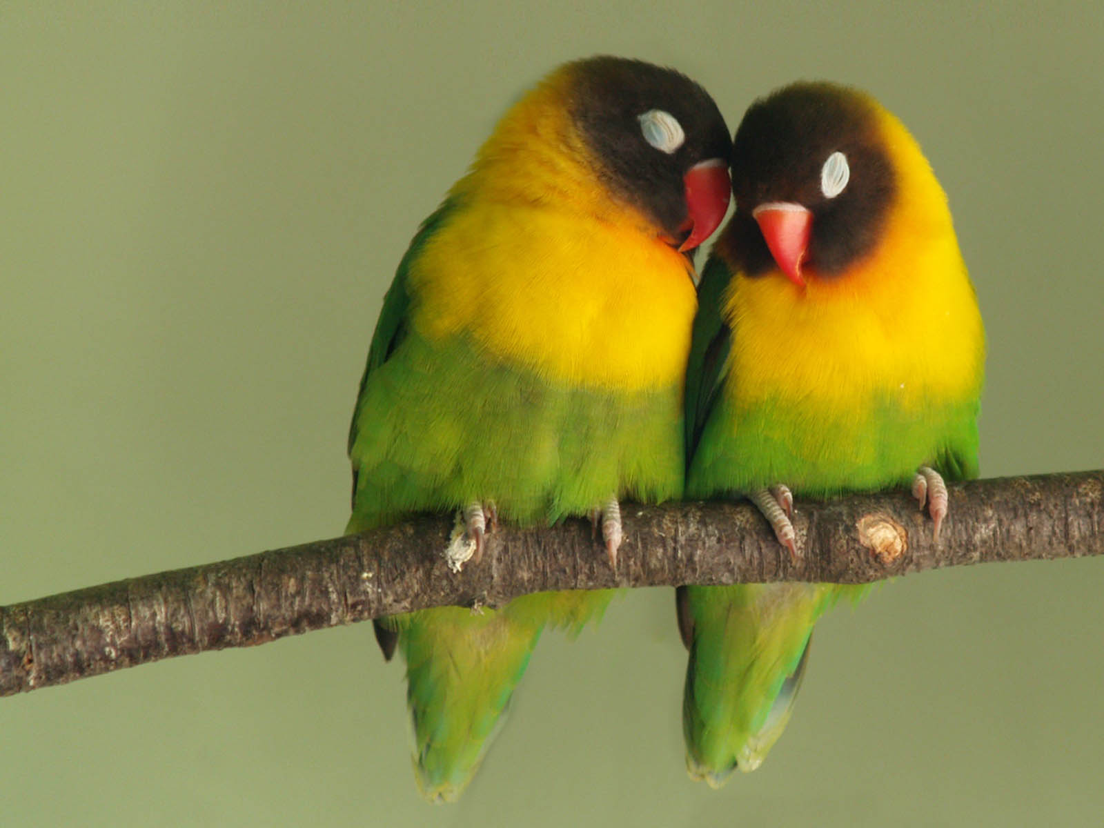 wallpapers: Love Birds Desktop Wallpapers
