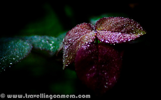 I know this is photograph is not in focus, but still I love it. Probably I am emotionally attached to it or I like the way these dew drops sparkle in the morning. This photograph was shot 2 years back and today after seeing dew in the park, I though of sharing this photograph. Winter season is best to see lovely dew on flowers and leaves in the morning. At some places, it freezes and can be seen as white layer on top of plants. Although dew droplets are best to enjoy the beauty of flora and faun around us.