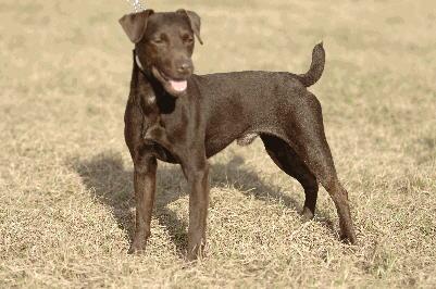patterdale terrier dog lovers is your patterdale terrier
