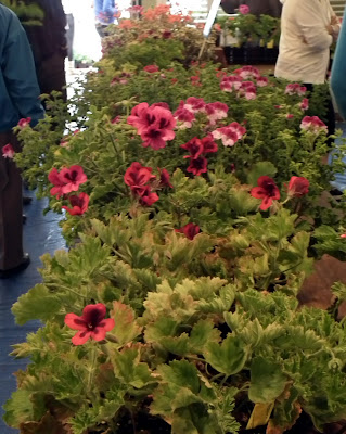 A Growing Affair, May 12- pelargoniums sale area, UBC Botanical Garden , Vancouver