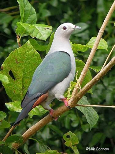 Island imperial pigeon Ducula pistrinaria