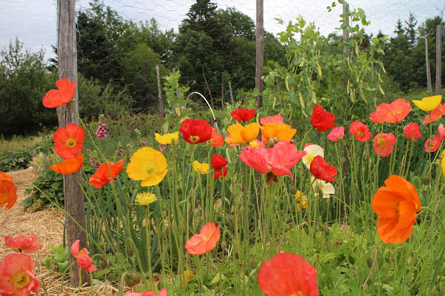 icelandic poppies, organic, sustainably grown, maine, farmer florist, gardening, chickadee hill flowers