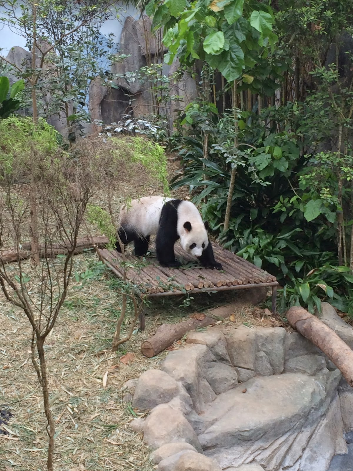Panda at Singapore Zoo