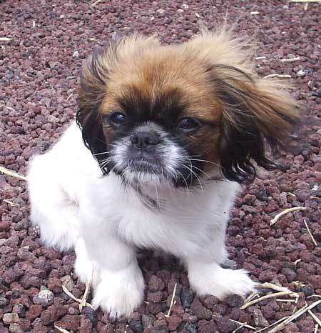 Pekingese Puppies on Pekingese Puppy Pictures