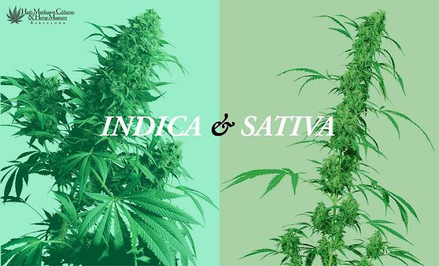 Cannabis Indica | Cannabis Sativa