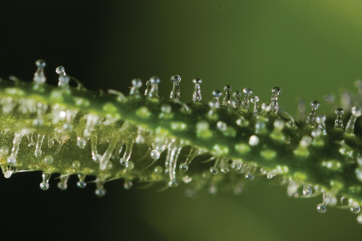 Canabinóides