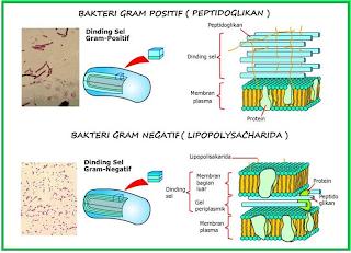 bakteri gram positif dan gram negatif