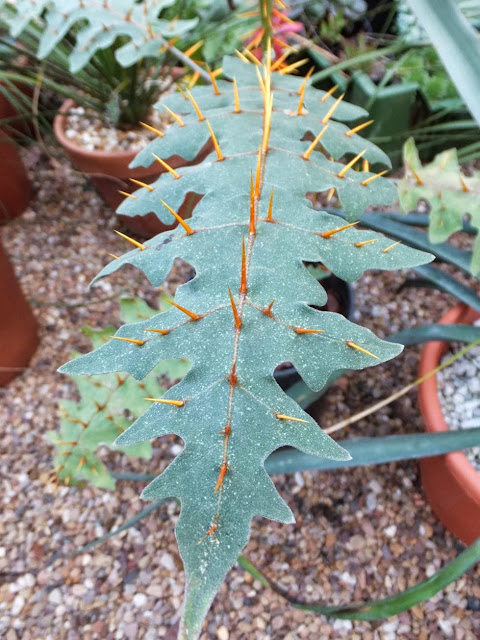 The Spiky leaves of Solanum pyracanthum