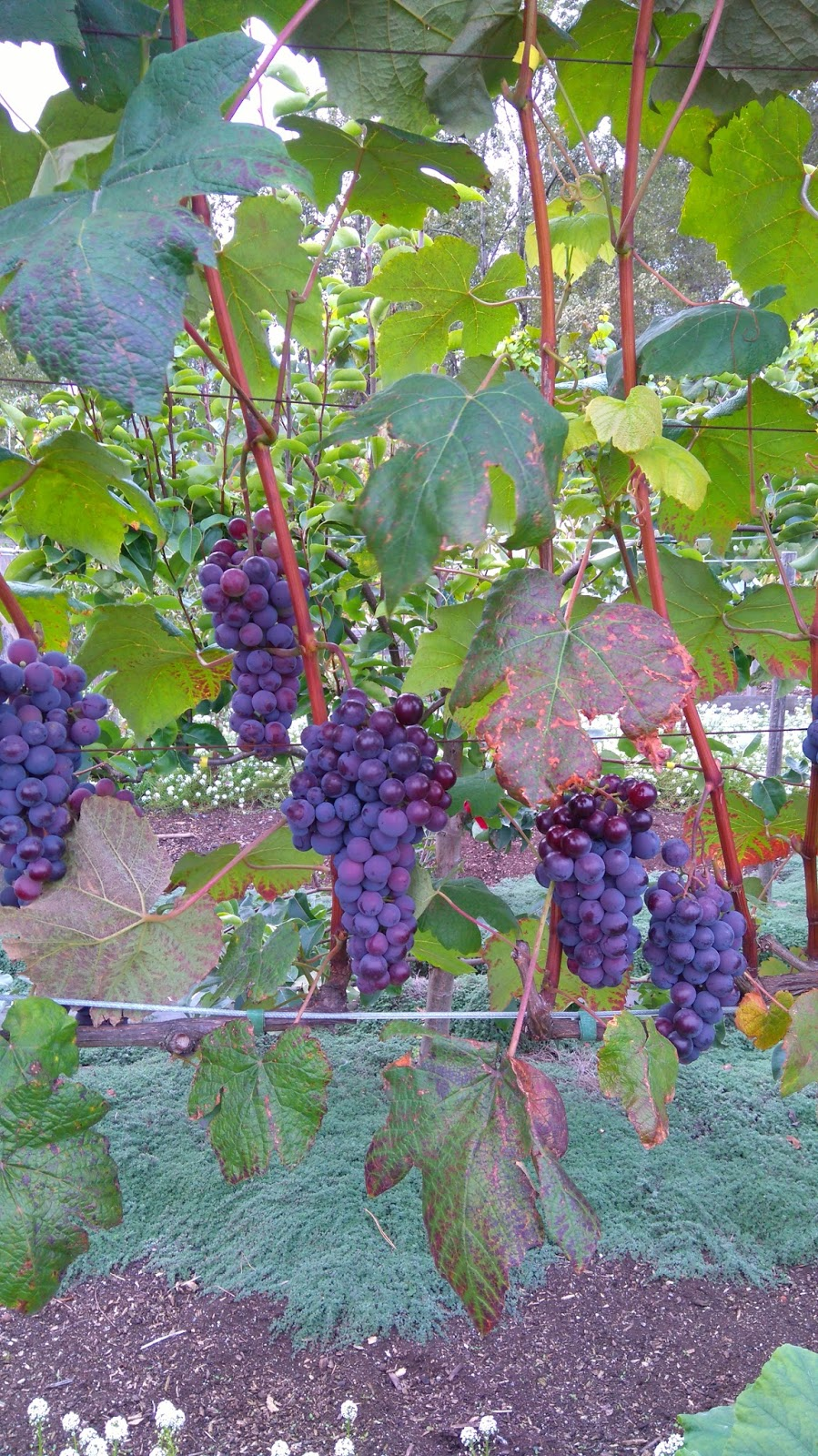 How to plant grapes