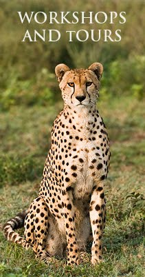 Click on the Cheetah!