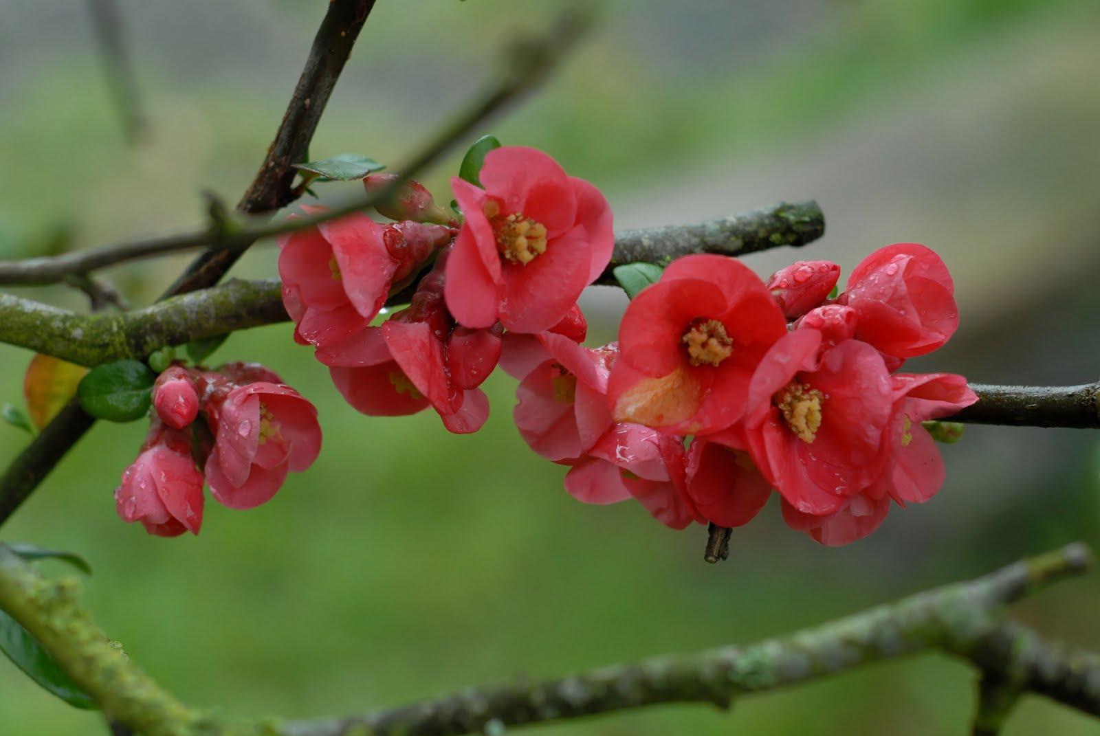 """Résultat de recherche d'images pour """"pommiers en fleurs"""""""
