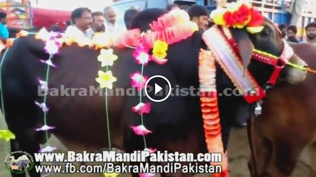 Beautiful Bull Selling For Qurbani 2014 in Lahore Kanjra Cow Mandi 2014 2014 video, Beautiful Bull Selling For Qurbani 2014 in Lahore Kanjra Cow Mandi 2014 2014 dailymotion, shah cattle farm 2014 video, shah cattle farm 2014 dailymotion,