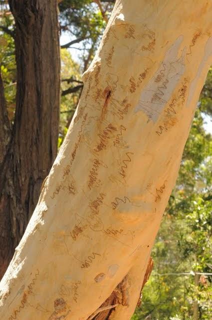 Scribbly Bark Gum 224