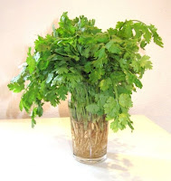 Cilantro - Europe Africa Asia | Coriandrum sativum annual herb in the family Apiaceae