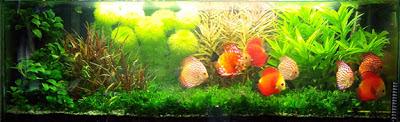 groupe de discus dans aquarium planté