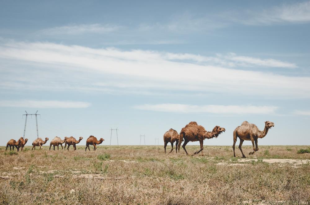 Kamele in der Kasachischen Steppe