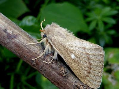 Lasiocampa serrula female