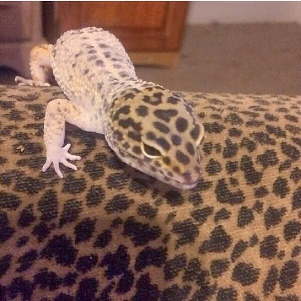 Funny animals of the week - 17 January 2014 (40 pics), gecko with pattern same as couch