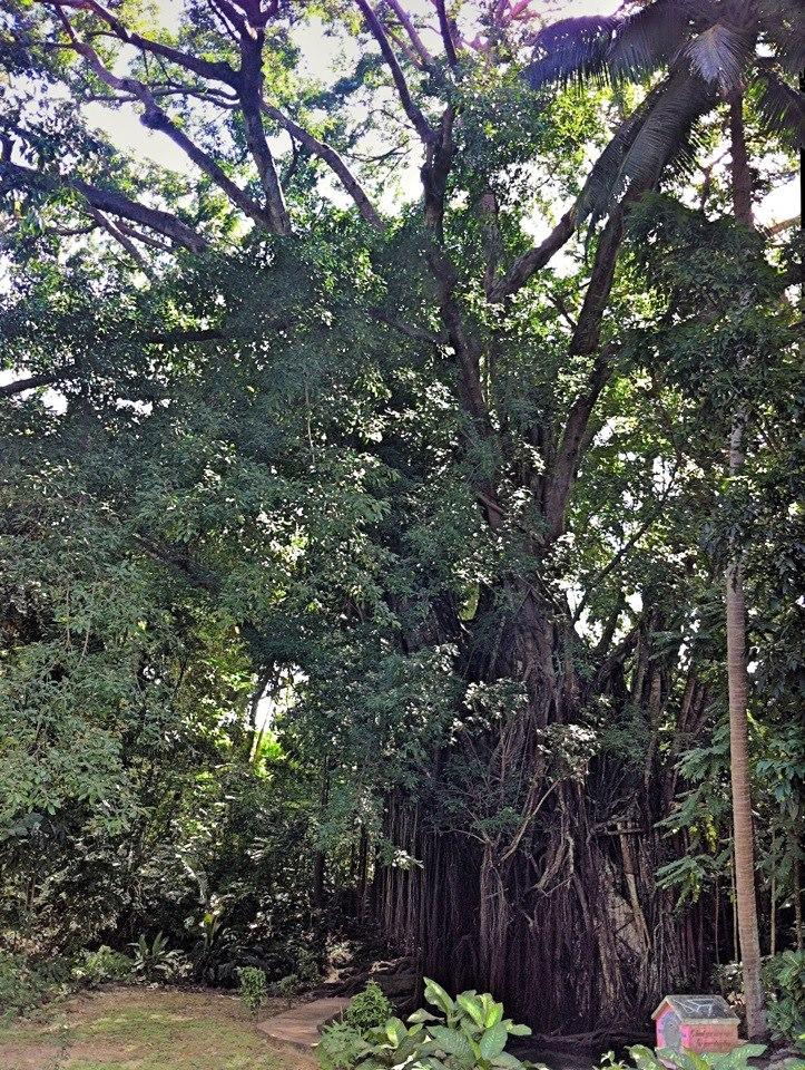 Balete Tree Drawing Century Old Balete Tree at